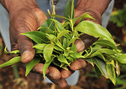 The khat plant, what flakka is made from